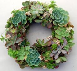 "Live Succulent Wreath on 12 inch diameter frame, from ""Fairyscape"".    Made using succulents and organic soil wrapped around with moss. Will continue to bloom and grow with watering (once a week) and some sun exposure.: Succulents Garden, Craft, G"