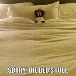 LOL dogs pictures of the hour (4:45:21 PM PST Saturday, February 21, 2015) – 10 pics: Funny Animal Picture, Dogs, Beds, Dachshund, Bed Hog, Bed S Full