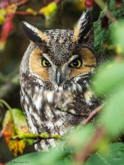 Long-eared Owl, Boundary Bay. Breeds in Asia, Europe, North America: Owls Совки, Birds Owls, Owl Photo, April Owls, Photo Owls, Owl, Eye, Animal