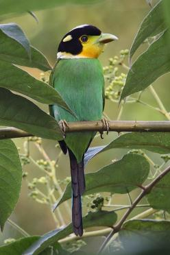 **Long-Tailed Broadbill: Himalayas, Southeast Asia, Indonesia: Broadbill Himalayas, Long Tailed Broadbill, Poultry, Birdie, Southeast Asia, Pretty Birds, Beautiful Birds, Animal