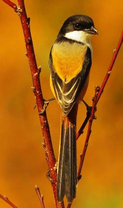 Long Tailed Shrike ( Lanius schach ): Animals Birds Butterflies, Birdie, Aves Birds, Long Tailed Shrike, Beautiful Birds, Photo