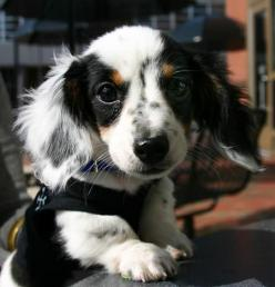 Longhair piebald!  So CUTE!  I'm a sucker for the longhairs.: Long Haired Dachshund, Daschund, Animals, Sweet, Dachshund Puppies, Pets, Doxies, Puppy, Dog
