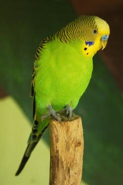 Looks like our Hans.  Hans is about 5 years old and is our 6th parakeet.: Bigbirds Smallbirds, Parrot Budgies, Budgies Parrots, Intellectual Birds, Parakeet Budgies, Beautiful Birds, Budgies Parakeet, Beautiful Budgie