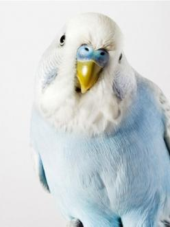 Looks like the parakeet I had when I was growing up ~ they're so much fun to have.  From Inspiration Lane.: Baby Blue, Budgie, Color, Beautiful Birds, Animal
