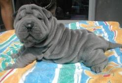 Love!!!!: Animals, Shar Pei, Dogs, Pets, Sharpei, Adorable, Puppy