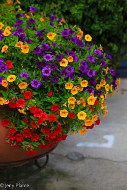 Love this colorful combination of calibrachoa.  A great choice for containers in full sun.: Flower Container, Garden Container, Container Garden, Flower Pot, Container Flower, Flowers Garden, Color Combination