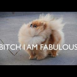Love this!!!  This will be Chewie when he gets bigger :): Animals, Dogs, Quotes, Fabulous Pomeranian, Funny, Bitch, Funnies, I Am
