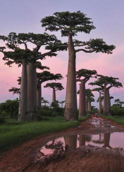 Madagascar. If it's worth making a Disney flick about, it must be worth a visit.  Plan that trip, then Ariel's underwater cave and Pochahontas's river bend and I'll be content!: Bucket List, Baobab Trees, Nature, Beautiful Trees, Forest, P