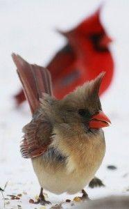 Male and female Cardinals.  The males are bright red. The females are grey-brown, probably so they will blend in sitting on their eggs in the nest.: Female Cardinal, Backyard Birds, Beautiful Birds, Favorite Bird, Beautiful Cardinal, Red Birds, Birds Card