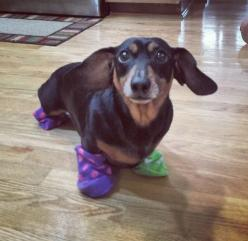 master has given weenie a sock. weenie is free.: Funny Animals, Weenie Dog, Free, Dogs, Dachshund, Socks, Harry Potter, Master