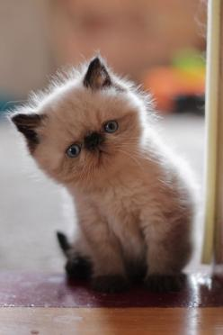 mel-cat:Hello,World! ( via Orestija ): Cats, Kitty Cats, Animals, Adorable Kittens, Pets, Kitty Kitty, Chat, Cute Kittens