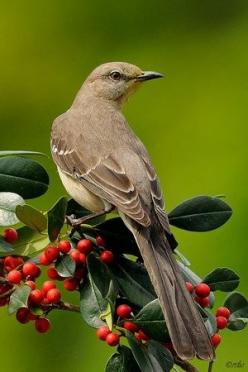 Mockingbird, best known for habit of mimicking songs of other birds & sounds of insects & amphibians.: Birdhouses, Birds Birds, Northern Mockingbird, Mockingbird Texas State, Beautiful Birds, Favorite Bird
