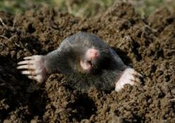 Moles are highly destructive and can ruin a garden and lawn.  Use method #6 to get rid of this pesky creature....If you can't find castor oil, Exlax tablets work wonders when shoved down Mole holes...they are attracted to the chocolate scent: Gardenin
