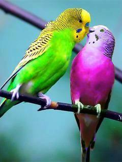 ✿ ❤   Muhabbet kuşları :) renkler muhteşem !! Parakeets: Colorful Birds, Australian Bird, Lovebirds Budgies Parakeets, Birds Color Me Beautiful, Colorful Parakeets, Birdie, Amazing Color, Parakeets Sweet