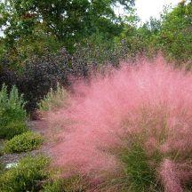 Muhley Grass - tidy clumps of fine blue foliage that explode into airy pinkish blooms in late summer.  Stunning and drought tolerant.: Fine Blue, Drought Tolerant, Pinkish Blooms, Late Summer, Stunning, Airy Pinkish, Muhley Grass, Blue Foliage