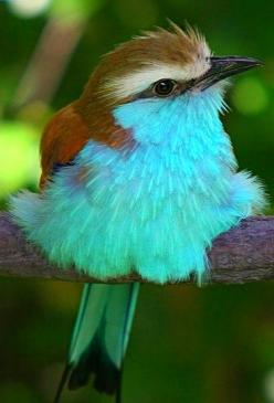 Music of the forest.: Sweet, Powderpuff Blue, Color, Pretty Birds, Beautiful Birds, Animal