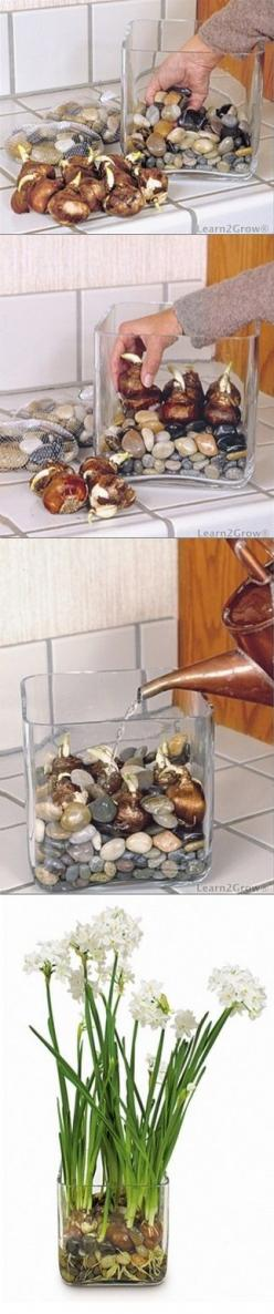 Must give this a go! Forcing bulbs in water and rocks: Green Thumb, Idea, Bulbs Indoor, Houseplant, Outdoor, Forcing Bulbs, Garden