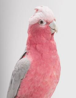 """My cousin Bob has one of these birds. She says """"I love you!"""", but when things get too loud, she says """"hush up!"""": Animals, Wild Cockatoo, Color, Pink, Birds"""