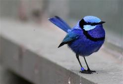 my mom has always said that blue bird are good luck :) Blan and I saw one outside the first house we bought and i knew it was a sign!: Blue Wren, Bluebirds, Color, Beautiful Birds, Blue Birds, Fairy Wren, Animal