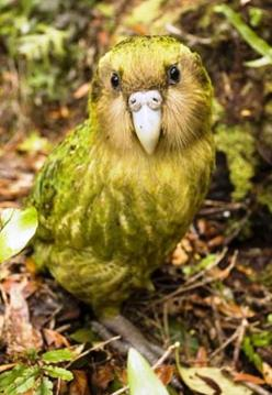 My mom (@Lorrie Hunley) and I have a love for fat birds. This chubby little bird is called the Kakapo-the world's only flightless parrot.: Animals Birds Parrots, Nature, Little Birds, Flightless Parrot, Animals Fish Birds, New Zealand, Kakapo The