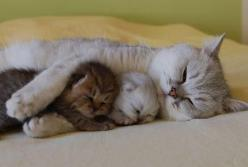 Napping with Mommy. Beautiful: Cats, Animals, Sweet, Mothers, Pets, Adorable, Kittens, Baby, Kitty