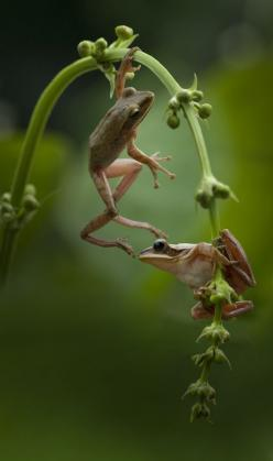 "natures-paintbox: "" frogs by Saelan Wangsa on 500px (via Pinterest) "": Hand, Frog, Saelan Wangsa, Reptiles Amphibians, Froggy Friends, Animal"