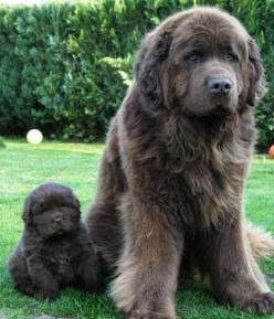 Newfoundland Dog & Adorable Puppy!  they're so fluffy!: Doggie, Newfoundland Dogs, Animals, Pet, Puppy, Baby, Big Dogs, Friend