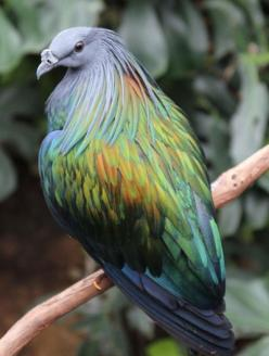 Nicobar Pigeon: Animals, Nicobar Pigeon, Nature, Color, Nicobarpigeon, Beautiful Birds, Beautifulbirds