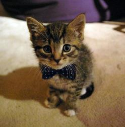 Oh my gosh, it's a kitten in a bow tie!!!: Cats, Animals, Bow Ties, Bowties, Bows, Kittens, Kitty, Doctor