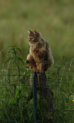 On joue à Chat perché au crepuscule... by serguei_30, via Flickr: Cats, Beautiful Cat, Animals, Kitty Cat, Kitten, Posts, Kitty Kitty, Fence Post, Chat