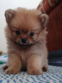 One of the cutest puppies you have ever seen: Animals, Dogs, Pet, Puppys, Box, Pomeranian