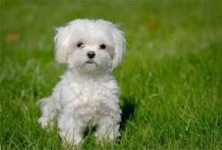 One of the top ten dog breeds that don't shed.  Maltese-puppy: Doggie, Animals, Maltese Dogs, Maltese Puppies, Maltese Puppy, Pets, Puppys, Dog Breeds