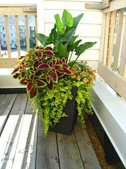 Orange Calla Lilly, creeping jenny, coleus, and super bells: Garden Container, Creeping Jenny, Container Gardens, Coleus Planter, Gardens Gardening Planters, Planters Gardening, Container Gardening, Flower