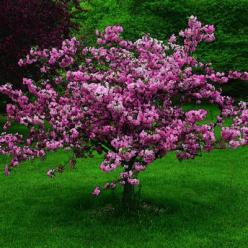 Ornamental crabapple.  Plant one of these for a lavish pop of white, pink, or red flowers each spring.: