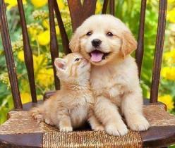Our golden has his own cat. If they had been babies together, this is what they would've looked like.: Cats, Animals, Kitten, Friends, Dogs, Sweet, Pet, Puppy, Golden Retriever