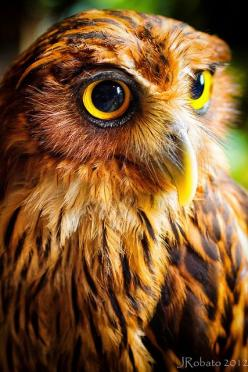 Owl Portrait by orgazmo, via Flickr: Owl Photo, Eagles, Philippine Eagle, Owls, Animal
