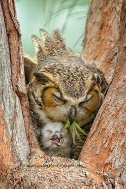 Owl tending to her chick: Babies, Animals, Sweet, Mother, Nature, Baby Owls, Birds, Mama Owl