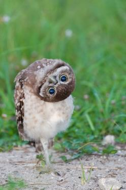 """Owl.  The caption I heard in my head for this picture:  """"No matter how I look at it, it's still confusing."""": Burrowing Owl, Animals, Quotes, Funny, Things, Birds, Photo, Owls, Hoot"""
