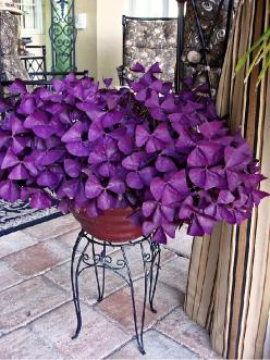 Oxalis purple clover, a beautiful shade plant!: Green Thumb, Shade Plant, Oxalis Purple, Shade Garden, Charmed Wine, Flowers Garden