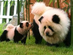 panda chow chows. OH MY WORD: Animals, Dogs, Panda Dog, Pet, Pandadog, Chow Chow, Chowchow, Pandas