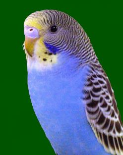 Parakeet: Beuitiful Birds, Parrot Budgies, Budgie Birds, Animals Birds Butterflies, Budgies Love, Budgies Bird, Beautiful Birds, Budgies Parakeet
