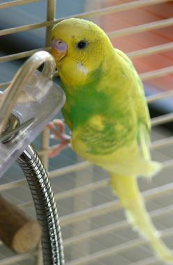 Parakeet: Parrot Budgies, Ef Budgies Undulater, Budgie Parakeets, Budgies Bird, Budgies Yes, Budgies Parakeet, Birdies Budgies