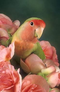 Peach-faced Lovebird, is a species of lovebird native to arid regions in southwestern Africa such as the Namib Desert. A loud and constant chirper, these birds are very social animals and often congregate in small groups in the wild.: Sweet, Color, Birdie