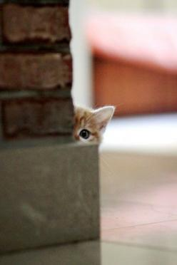 peekaboo: Cats, Animals, Pet, Peek A Boos, Kittens, Peekaboo, Kitties, Kitty