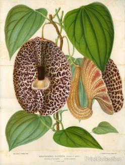 Pelican Flower Print--I call this Duthman's Pipe--native in Missouri in a different color though: Botanical Illustration, Pelican Flower, Beautiful Botanical, Botanical Prints, Products