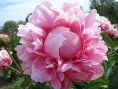 Peony Bess Bockstoce is fabulously fragrant. Grow one in your garden. Plants available for fall planting!: Peony Plant, Garden Ideas, Flowers Peonies, Bess Bockstoce, Bockstoce Peony, Heavenly Florals, Gardens Peonies, Brooks Gardens