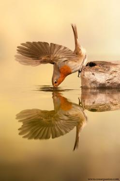 Petirrojo by bird photographer cesar pastor quesada on 500px.  European Robin drinking; reflected in water.: Photos, Animals, Reflection, Nature, Robins, Birds, Photography