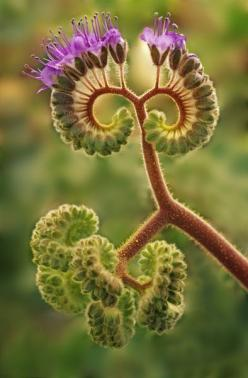 petitcabinetdecuriosites: (via CREATIONS VEGETALES ANIMALES / California, Death Valley National Park by Danita Delimont - detail of phacelia): Death Valley, Phacelia Plant, Nature, Valley National, Plants, National Parks, Flowers, Garden, Flower