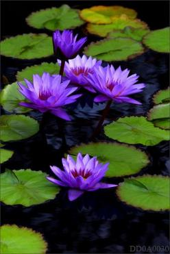 photo .... purple water lilies ... luv the pattern the flowers and leave make ... design idea ...: Waterlily, Purple, Waterlilies, Flowers, Water Lily, Water Garden, Lotus Flower, Water Lilies