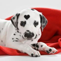 Photographer Sabine Ruth: Puppies, Animals, Sweet, Dogs, Pets, Puppys, Adorable, Dalmatians